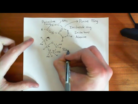 The Adenylyl Cyclase Reaction