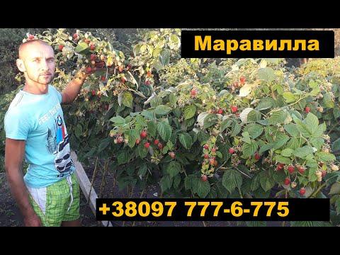 Малина Маравилла правила сбора ягоды
