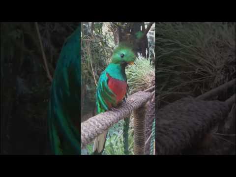 Quetzal de Guatemala, cantando