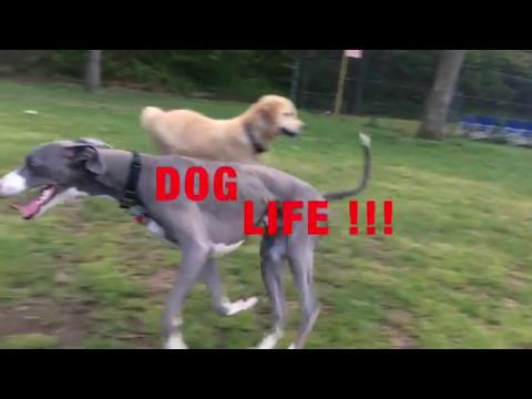Whippet Running :: Dog Life Part 2