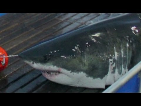 Tracking the great white shark Mary Lee
