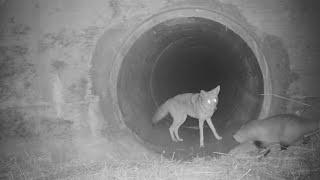 Freundschaft zwischen Kojote und Dachs: Das sieht doch nach mehr als einer Nutzgemeinschaft aus