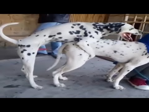 Dalmatian Dogs Mating | How To Get Breed