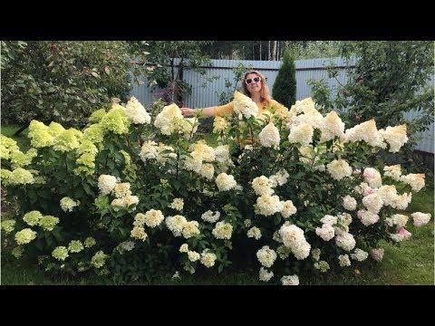 Моя любимая дача 3 августа 2019 г. Мои гортензии. Уход за ними. Роза Глория Дэй.🌹Холодный август.