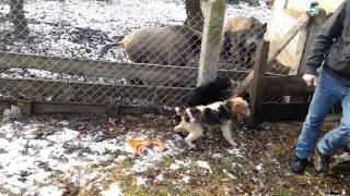 Psy myśliwskie (Terier, Foksterier) na Dziki 2015