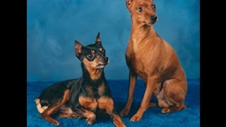 Min Pin Breed Information