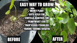 How To Grow Money Plant | How To Propagate Gotu Kola | Centella Asiatica Propagation |Homefoodgarden