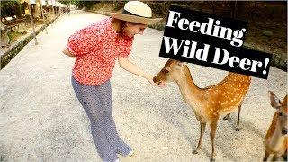 JAPAN   Feeding Wild Deer in Nara Park