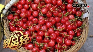 《致富经》 20190717 大学老师辞职种樱桃 如何年卖400万元?  CCTV农业