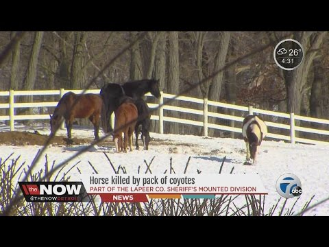 Horse killed by pack of coyotes