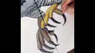 Aguila Harpía - Harpia harpyja - Close up