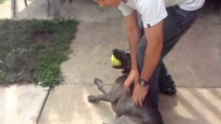 Sailor Arrives Home From Leave And Is Greeted By Our Weimaraner!