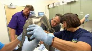 Turtle Rehab - Stephen Fry and the Great American Oil Spill - BBC Two