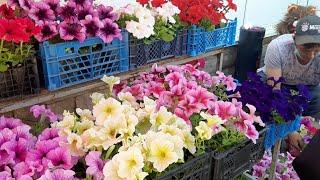 Торгую цветами петунией ПОКУПАТЕЛИ ВАЛЯТ МЕНЯ С НОГ ни минуты покоя