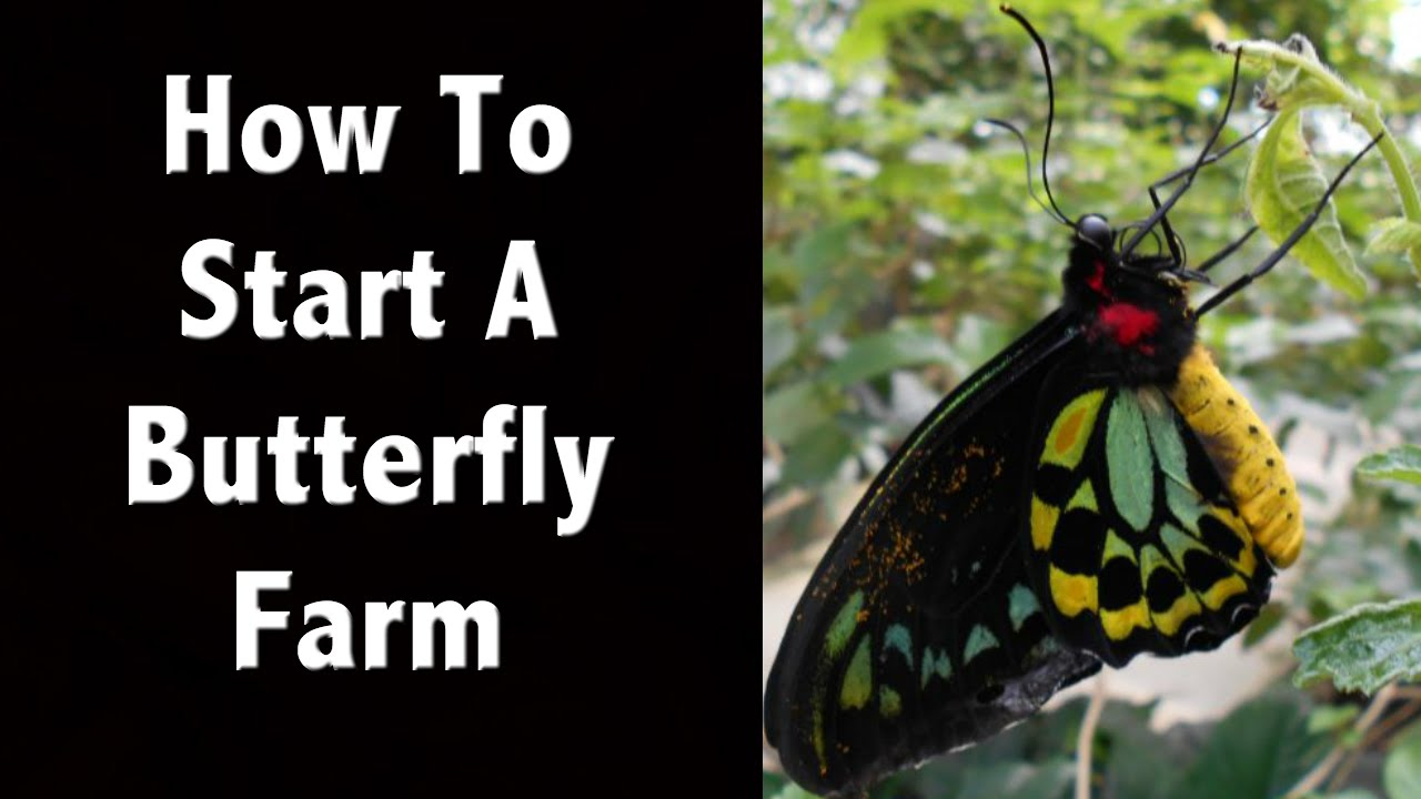 How to start a butterfly farm or butterfly business youtube for How to get started building a home