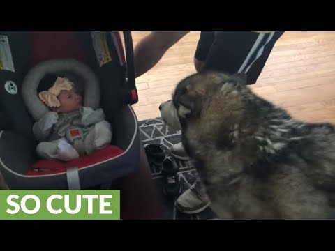 Alaskan Malamute meets newborn baby for the first time