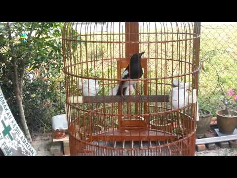Magpie Robin open tail -Murai kampung1