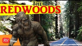 The LARGEST TREES In The World (Redwoods) and BIGFOOT!