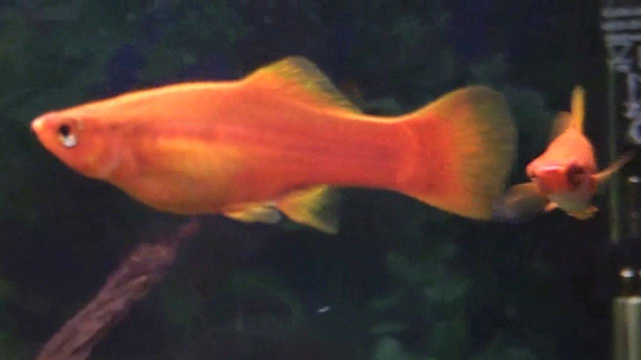 c mo saber si mi pez est pre ada huevos de peces