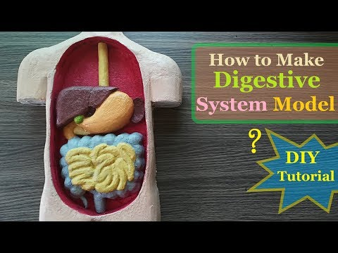 How to make Digestive System 3d Model