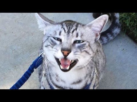 Talkative Egyptian Mau Cat Meow : Hello! Leo!!