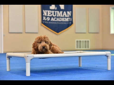 Dax (Labradoodle) Boot Camp Dog Training Video Demonstration