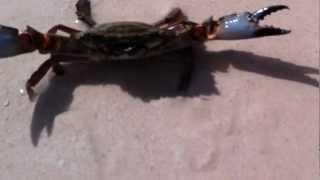 GOT LUCKY CATCHING A SMALL BLUE CRAB ON BELLOWS BEACH IN HAWAII