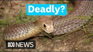 Baixar Does Australia have the most venomous creatures in the world? | Did You Know?