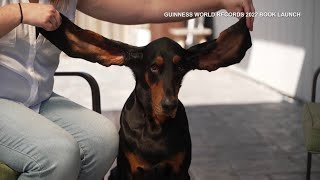Dog With Longest Ears Is 2022 Guinness World Record Holder
