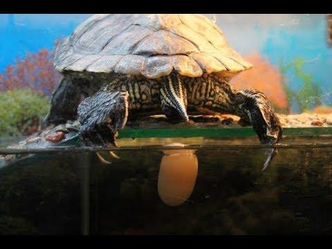 Красноухая черепаха откладывает яйца. 0+