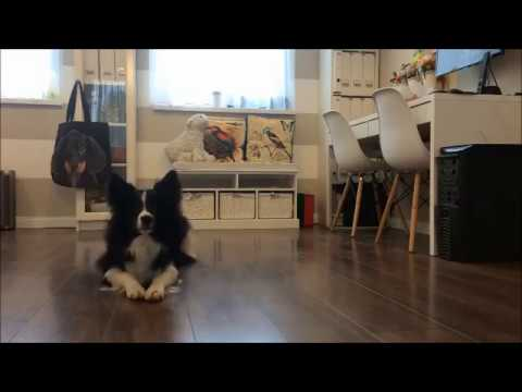 Dog Dancing front side step, back basic, position bow from up and down