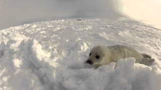 Harp Seals in the Gulf of St. Lawrence