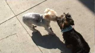 Yorkshireterrierstud.com - Yogi & Girls - Akc Yorkshire Terrier Male - Yorkie Stud Service!