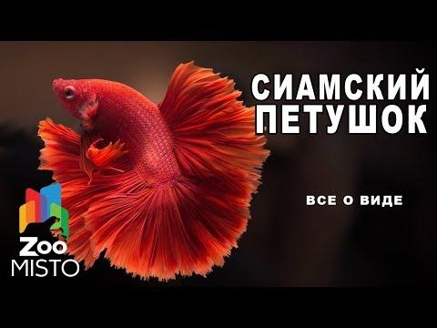 Cиамский петушок Все о виде рыб | Рыба сиамский петушок
