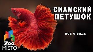 Cиамский петушок - Все о виде рыб | Рыба сиамский петушок