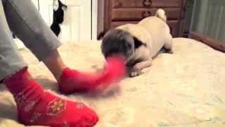 Pug Hates Christmas Socks! | A Happy By Craft Happy Summer