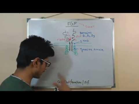 Fibroblast Growth Factor (FGF)