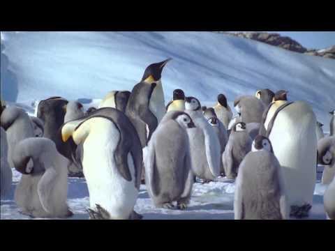 帝王企鵝 - YouTube