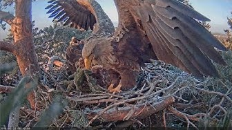 2018/02/22 Merikotkas ~Female lies in the nest and is calling briefly~