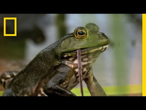 Bullfrogs Eat Everything   National Geographic