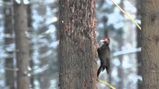Желна и пищуха / Black woodpecker and eurasian treecreeper