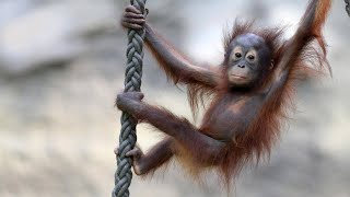 Orang-Utan-Mütter kratzen Nachwuchs aus dem Haus