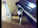 My Piano Playing Dog! lucky french bulldog