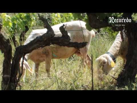 Instantes compartidos de RECAREDO. Ovejas en los viñedos para gestionar la cubierta vegetal