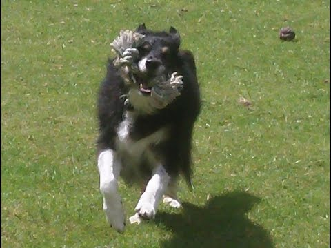 Border Collie Poppy after her bath at A & B Dogs Boarding & Training Kennels.