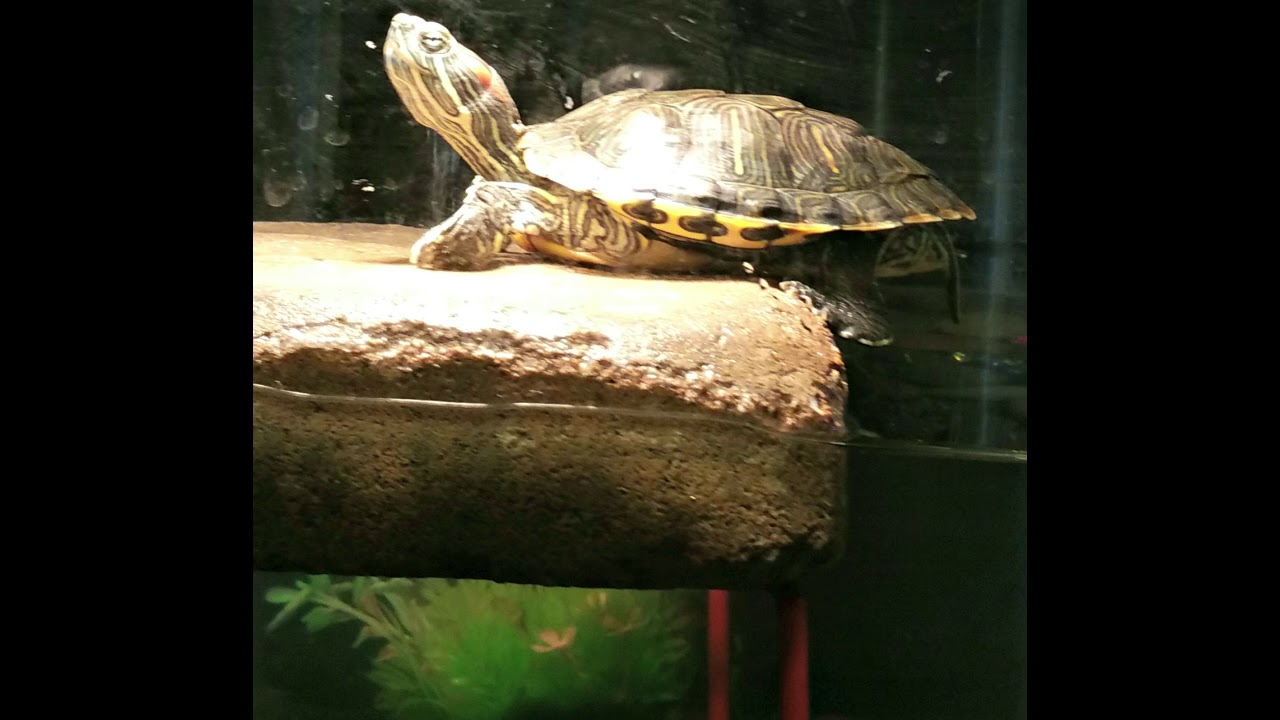 How To Find Your Turtle Or Small Pet Around The House Youtube