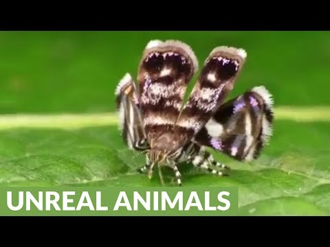 Metalmark Moth mimics jumping spider predator