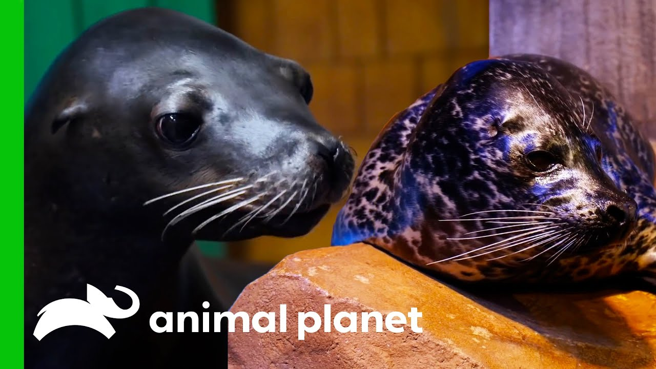 What's The Difference Between Seals And Sea Lions? | Animal Planet