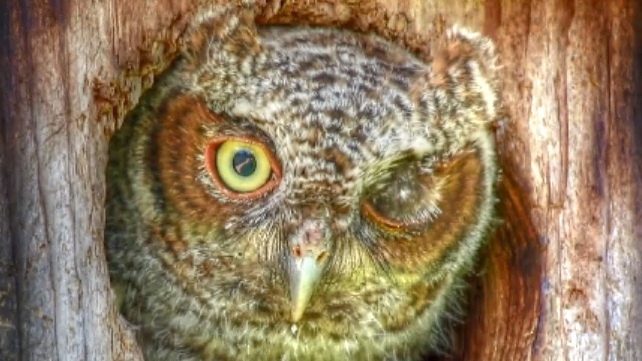 Cute Winking Blinking Baby Screech Owl - YouTube