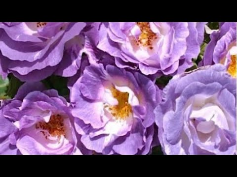 Розы. Большой минус в розах David Austin